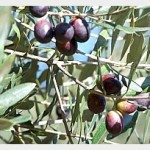Organic olives getting closer to harvest time