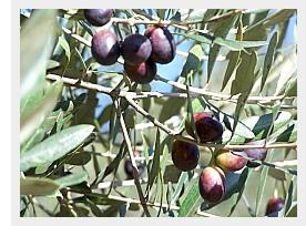 olives01b