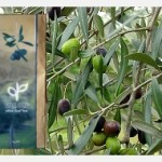 Organic olive trees are a mainstay of Obi Obi Eseentials